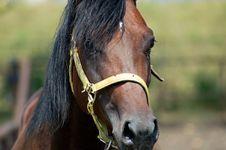 Free Stallion Stock Image - 1036151
