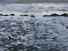 Free Gulls Royalty Free Stock Image - 1036186