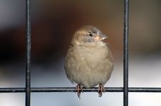 Free Bird On Fence Royalty Free Stock Photography - 1036657