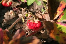 Strawberry On Branch Royalty Free Stock Images