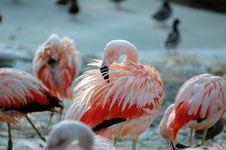 Free Flamingos Royalty Free Stock Image - 1036696