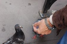 Free Hand Feeding A Pigeon Stock Photos - 1037443