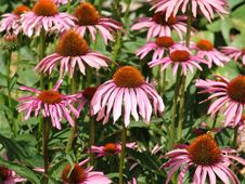 Free Giant Pink Daisies Stock Photography - 1037832