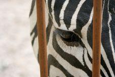 Free Zebra Royalty Free Stock Photography - 1037877