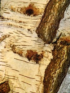 Free Golden Tree Bark On Old Tree Royalty Free Stock Photo - 1038325