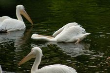 Free Pelicans Royalty Free Stock Image - 1038696
