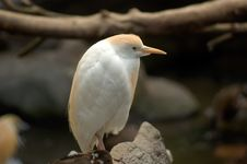 Free Cattle Egret Royalty Free Stock Photo - 1038705