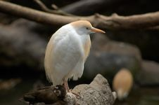 Free Cattle Egret Royalty Free Stock Photos - 1038708