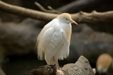Free Cattle Egret Stock Photography - 1038712