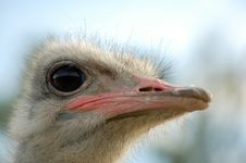 Free Ostrich Royalty Free Stock Image - 1038716