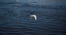 Free Gull Iver Stock Photo - 1039430