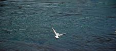 Free Gull Royalty Free Stock Photos - 1039558