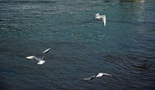 Free Gulls Stock Photography - 1039572