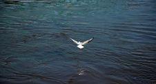 Free Gull Royalty Free Stock Photo - 1039595