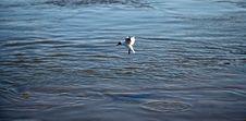 Free Gull Stock Photography - 1039652