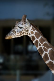 Free Giraffe Looking Over Stock Image - 1039791