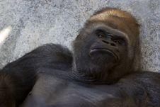 Free Western Lowland Gorilla (Gorilla Gorilla Gorilla), Africa Stock Photo - 1039800