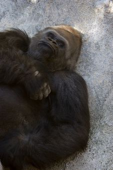 Free Western Lowland Gorilla (Gorilla Gorilla Gorilla), Africa Stock Image - 1039801