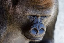 Free Male Slvierback Gorilla Stock Photos - 1039803