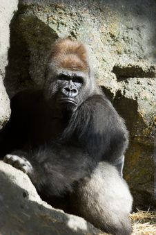 Free Male Slvierback Gorilla Stock Images - 1039844
