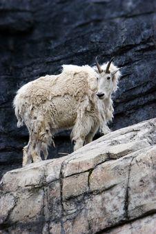 Free Mountain  Goat Stock Photo - 1039900