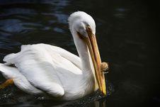 Free Pelican Royalty Free Stock Photos - 1039968