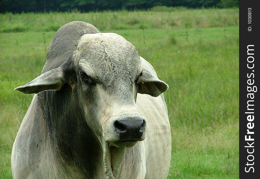 White Gray Brahma Bull