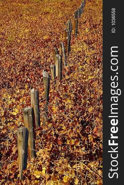 Fall Vineyards5