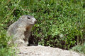 Free Marmot In The Nature Royalty Free Stock Images - 10304689