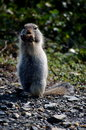 Free Red Ground Squirrel Stock Image - 10309261
