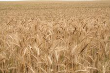Free Field Of Cereal Royalty Free Stock Photo - 10301875