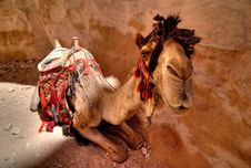 Free Camels In Petra Royalty Free Stock Image - 10302626