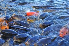 Koi Carp Fish Royalty Free Stock Photo