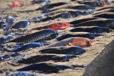 Koi Carp Fish Stock Photos