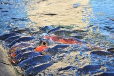 Koi Carp Fish Stock Photo