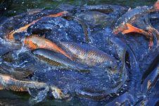 Free Koi Carp Fish Royalty Free Stock Photos - 10303218
