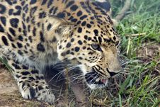 Free Amur Leopard Royalty Free Stock Photos - 10305858