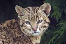 Free Geoffroy S Cat Stock Images - 10305874