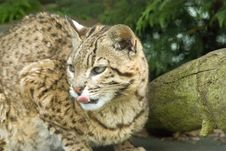 Free Geoffroy S Cat Royalty Free Stock Photography - 10305887