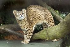 Free Geoffroy S Cat Stock Photography - 10305902