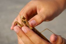 Free Mantis In Hands Royalty Free Stock Photos - 10306558