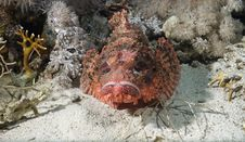 Free Smallscale Scorpiofish Royalty Free Stock Photography - 10306917