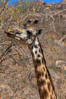 Free Giraffe Eating Bush Stock Image - 10307361