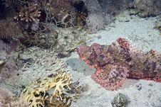 Free Smallscale Scorpiofish Stock Image - 10307421