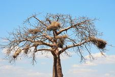 Free Baobab Crown With Big Nests Royalty Free Stock Photo - 10307455