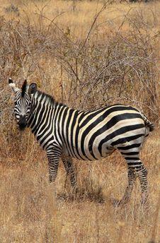 Free Zebra In Bush Stock Photography - 10307762