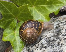 Free Snail Royalty Free Stock Photos - 10307768