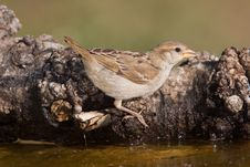 Free Sparrow Drinking Royalty Free Stock Image - 10308246