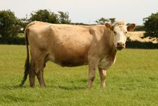 Free Beige Cow On The Field Stock Images - 10308444