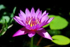 Free Waterlilly Royalty Free Stock Image - 10308616